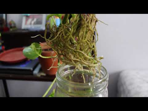 Propagating Pothos in Water & Transplanting Cuttings to Soil