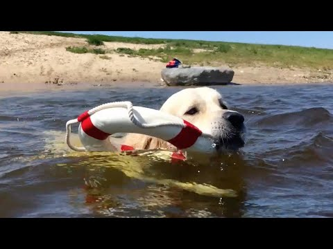 Courageous Dog Trains To Be A 'Lifeguard'