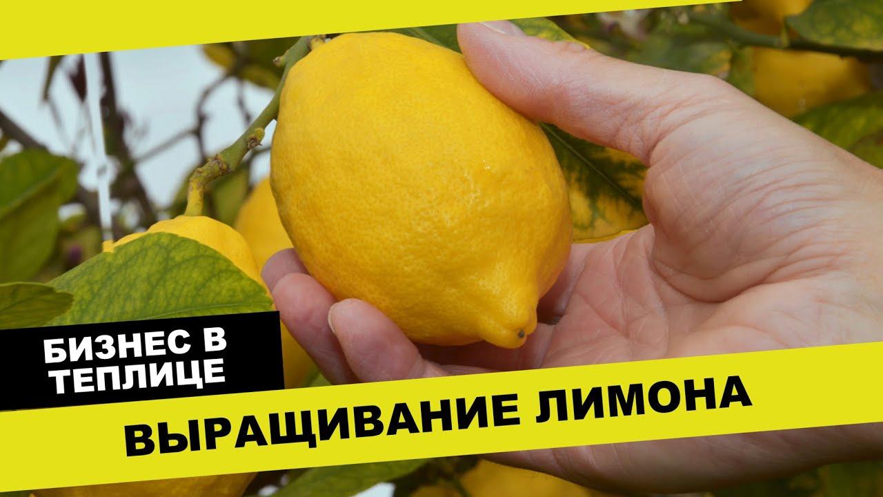 как вырастить лимоны в теплице на урале