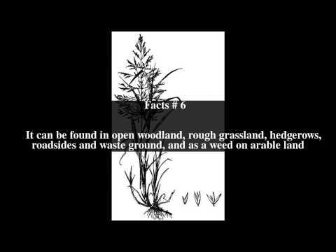 Header of Agrostis gigantea
