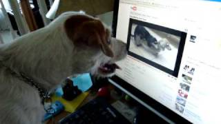 Dog watches porn