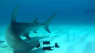 Hammerhead Sharks.wmv Thumbnail