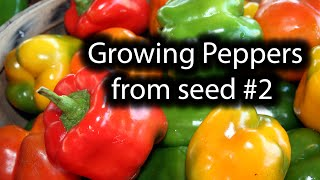 How to grow Peppers. Episode #2. All seeds sprouted