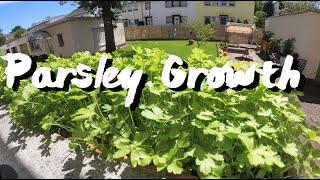 40 Days Parsley growth Timelapse