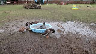 FarmCam | Ducks