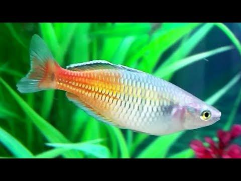 Boeseman's Rainbowfish Care Guide - Boesemani Rainbow Fish Gender, Breeding Rainbowfish And Fry Care