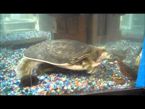 turtle vs crayfish