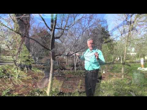 In the Garden with Dave Forehand: Flowering Cherry Trees