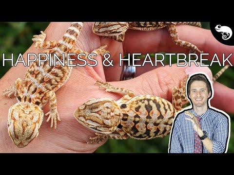 Baby Bearded Dragons - The WORST Thing About Breeding Reptiles