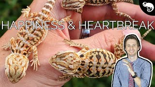 baby-bearded-dragons-the-worst-thing-about-breeding-reptiles