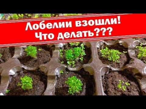 Лобелия взошла, что делать? Как вырастить хорошую рассаду лобелий? | выращивание | башмакова | татьяна | рассада | лобелия | лобелии | семян | лобел | уход | дача