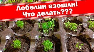 Лобелия взошла, что делать? Как вырастить хорошую рассаду лобелий?