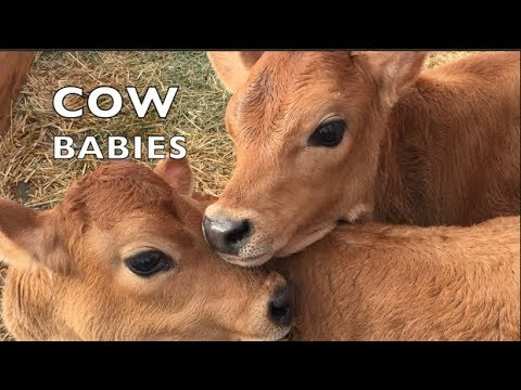 Baby Cows Playing Like School Kids Again Youtube