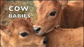 BABY COWS PLAYING LIKE SCHOOL KIDS AGAIN