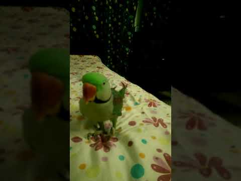 Parrot Trained To Pray Sajdah