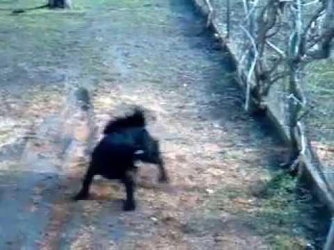Pulin srpski pastirski pas