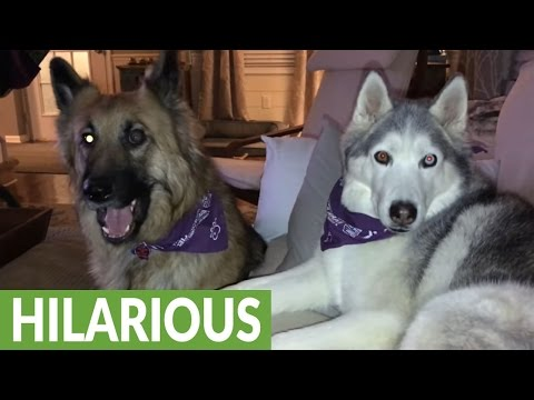 Husky furious over reality TV outcome, throws temper tantrum