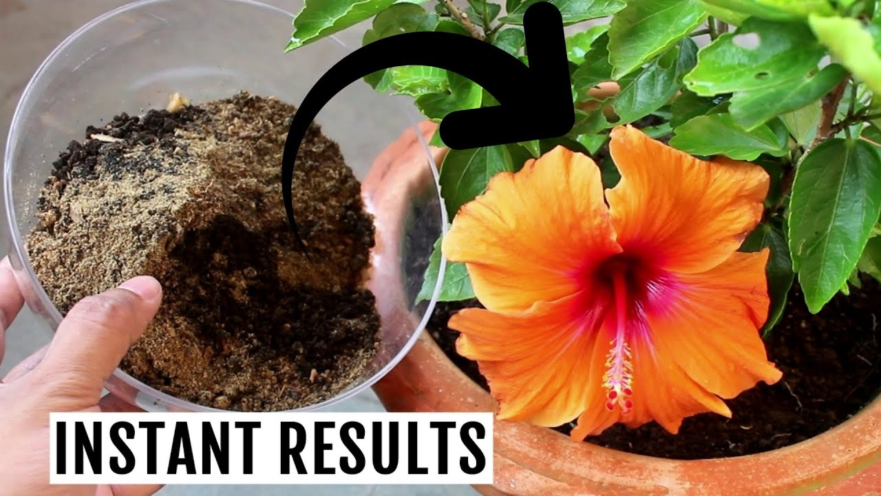 The Best Organic Fertilizer For Hibiscus Works Every Time Youtube