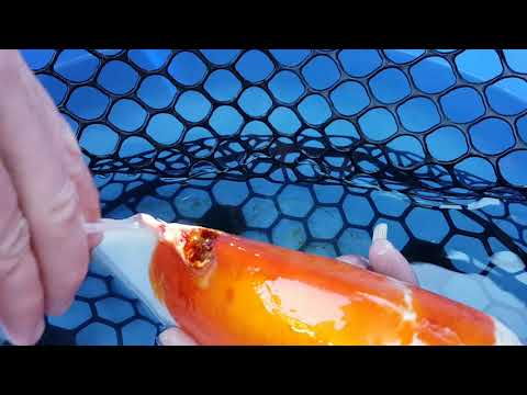 Treating Koi Fish Skin Ulcers.
