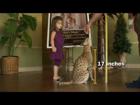 World's Largest Domestic Cat