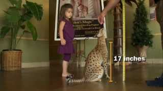 Repeat youtube video World's Largest Domestic Cat