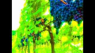 Enosis Meraviglia [1] Il Vigneto
