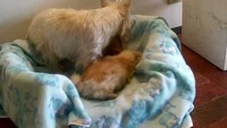 West Highland White Terrier Vs Shih-tzu