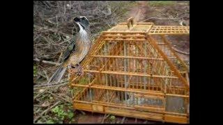 Pegando Trinca Ferro na gaiola caçadeira (caçando Passarinho)