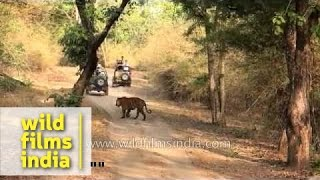 Tourist jeeps sight and corner a tiger - Bandhavgarh