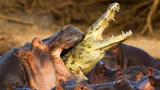 Why Hippos are the DEADLIEST ANIMALS!