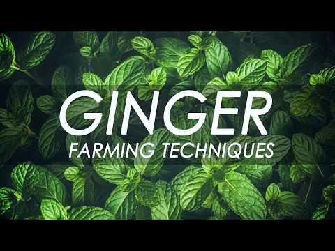 ഇഞ്ചി കൃഷി - Ginger farming techniques - protray ginger - low budget ginger production
