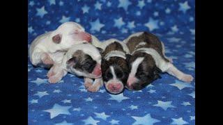 Coton de Tulear Puppies For Sale - Eliza 4/28/21