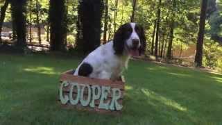 Springer Spaniel Cooper's 1st Year