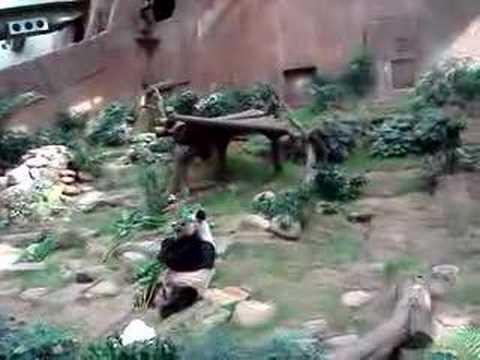 Panda An An & Jia Jia from Hong Kong Zoo