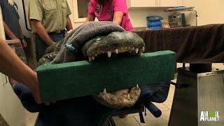 Split Jaw Alligator Heads to Surgery   Gator Boys