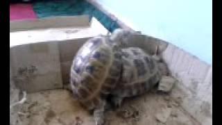 Секс черепахи