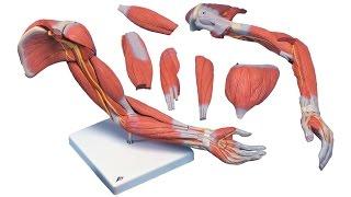6.3 Опорно-двигательная - мышцы (8 класс) - биология, подготовка к ЕГЭ и ОГЭ 2017