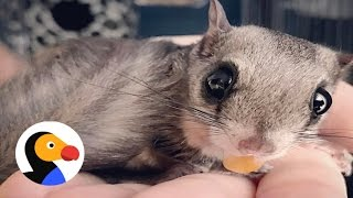Flying Squirrel Rescued In Hurricane Loves His New Mom | The Dodo