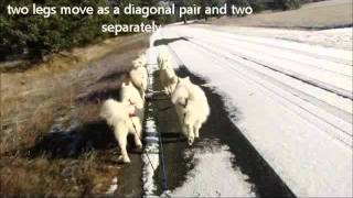 Sled Dogs Moving:  Part 3 Moving In Harness