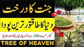 How To Use Moringa Powder    Sohanjna Ke Fayde   Moringa Oleifera in Urdu