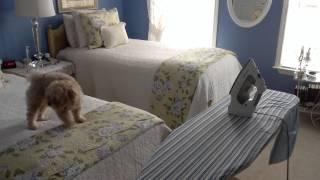 Maltipoo Dog Barking At Iron