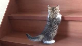 子猫 秀吉の階段チャレンジと見守るひのきがかわいい