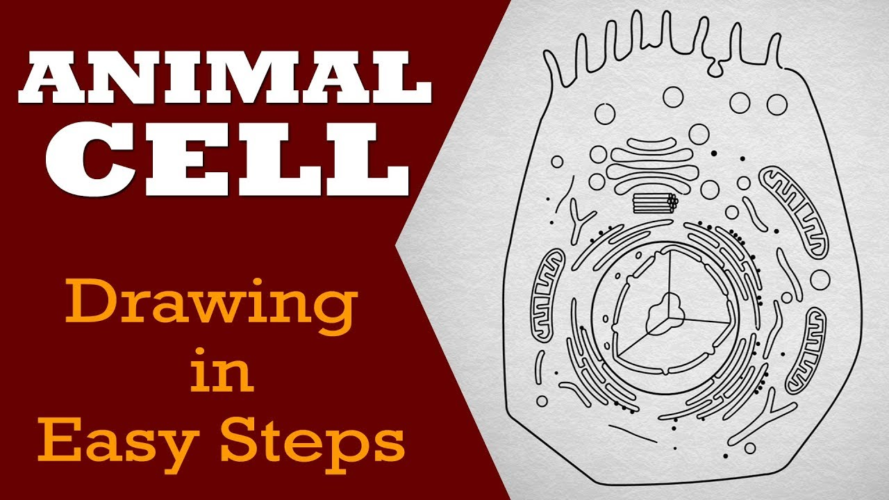 how to draw animal cell in easy steps fundamental unit of life ncert class 9th biology science [ 1280 x 720 Pixel ]