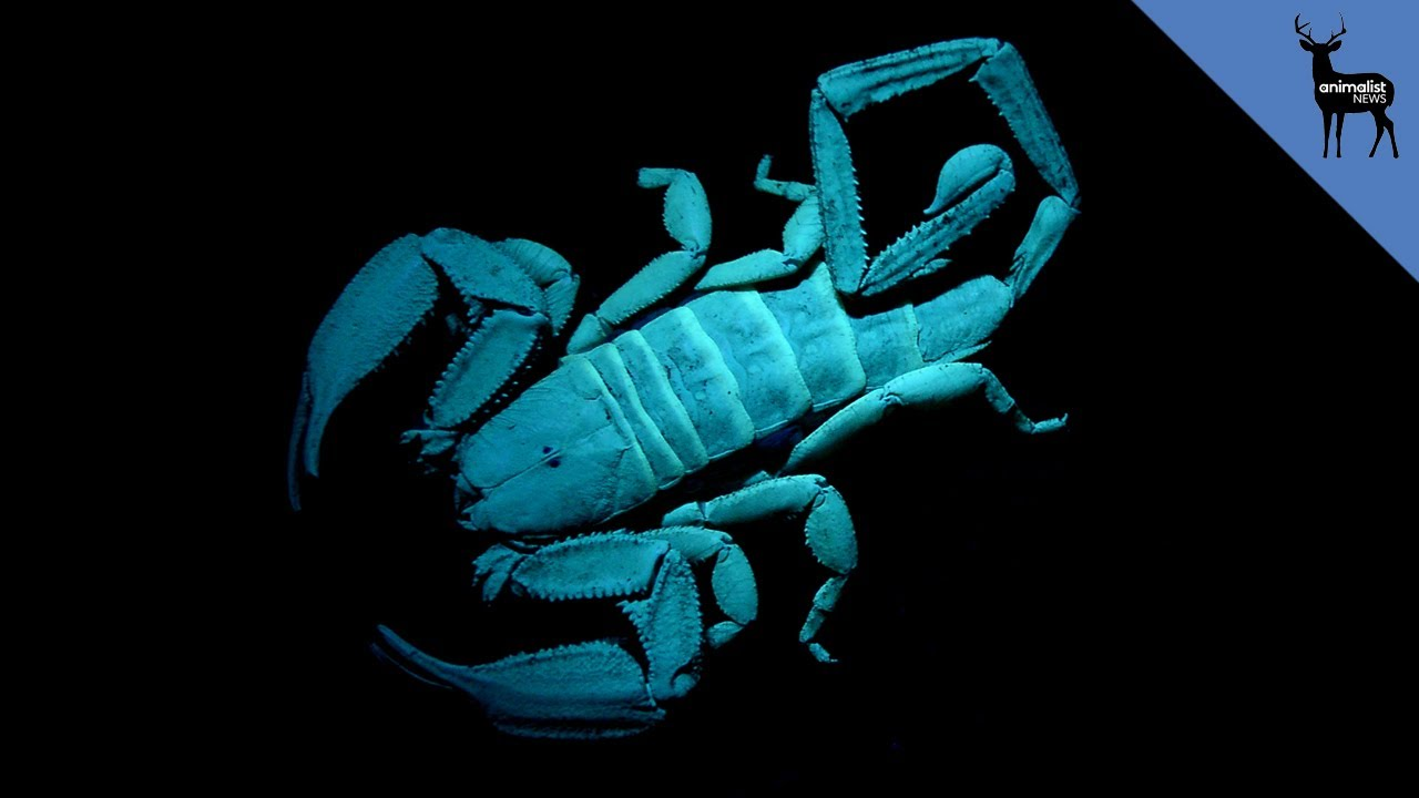 Why Do Scorpions Glow In The Dark Youtube