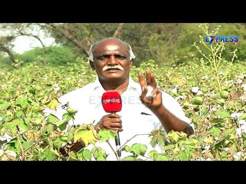 Excellent results through using Crude Edible Oils In Cotton  - Success story of farmers - Express TV