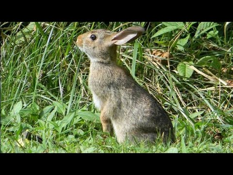 Air Rifle Hunting, Ambushing Rabbits By Day & Night