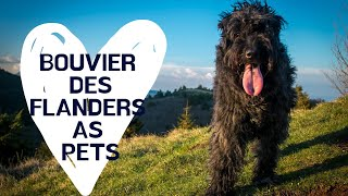Bouvier Dogs  A Pet Care Guide for Bouvier des Flanders  diet, care, health, supplies, and more