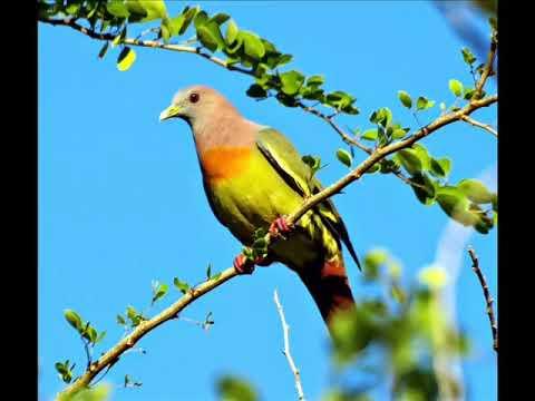Suara Burung PUNAI UNTUK PEMIKAT