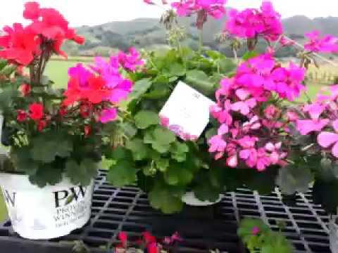 Spring Trials 2016: Timeless™ Pelargonium