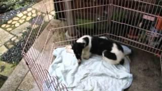 関西ボルゾイ子犬販売ページ→ http://www.at-breeder.net/borzoi/kansai...